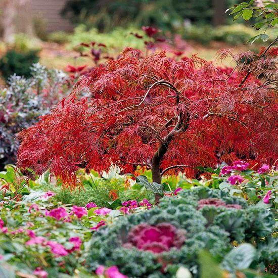 Dissectum atropurpureum ahornbaum mit rotem laub garten garten japanischer ahorn und pflanzen - Japanische gartenpflanzen ...