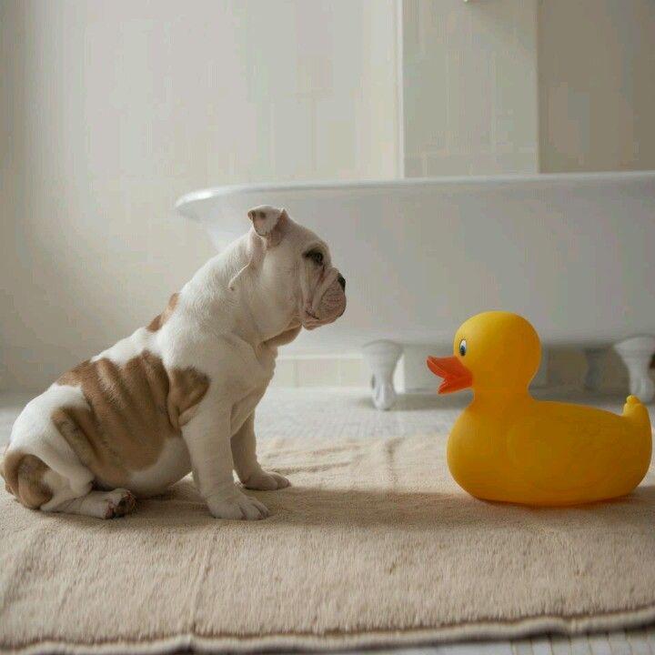 Baby English Bull Dog Bulldog Pet Psychic English Bulldog
