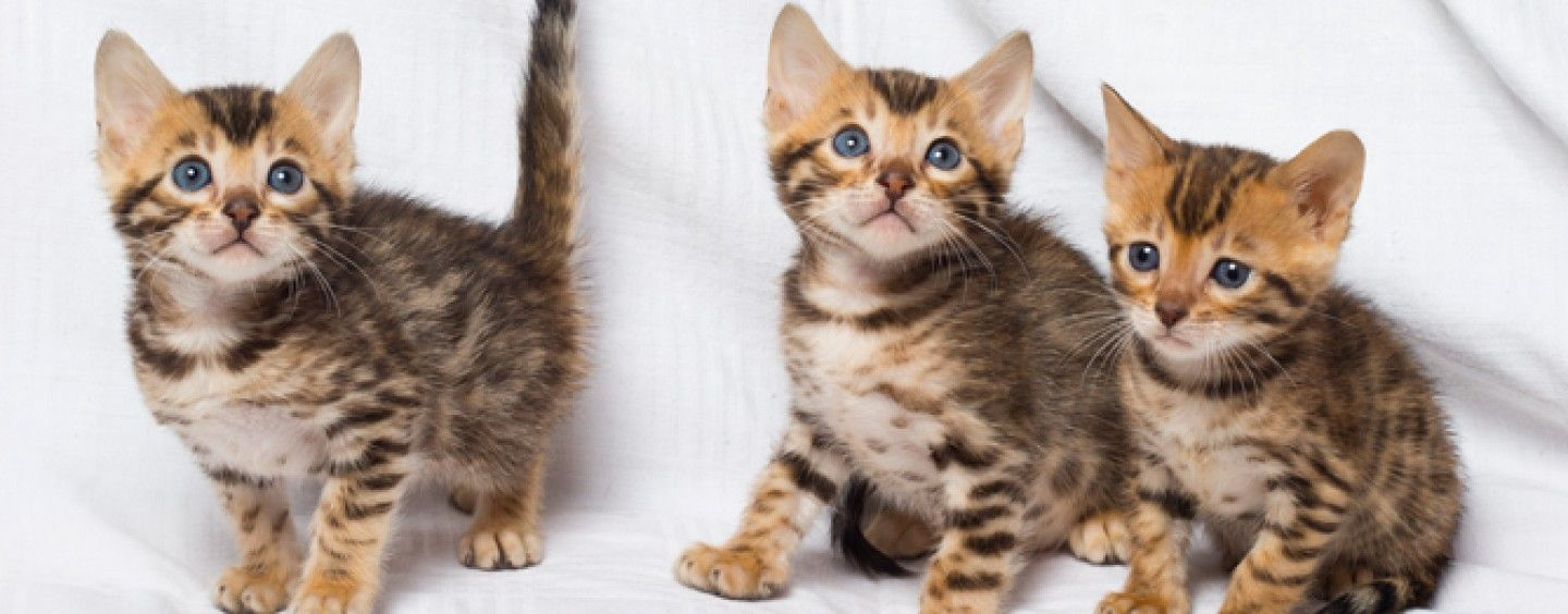 Top 10 Things About Bengal Kittens For Sale Bengal Kitten Bengal Kittens For Sale Bengal Cat