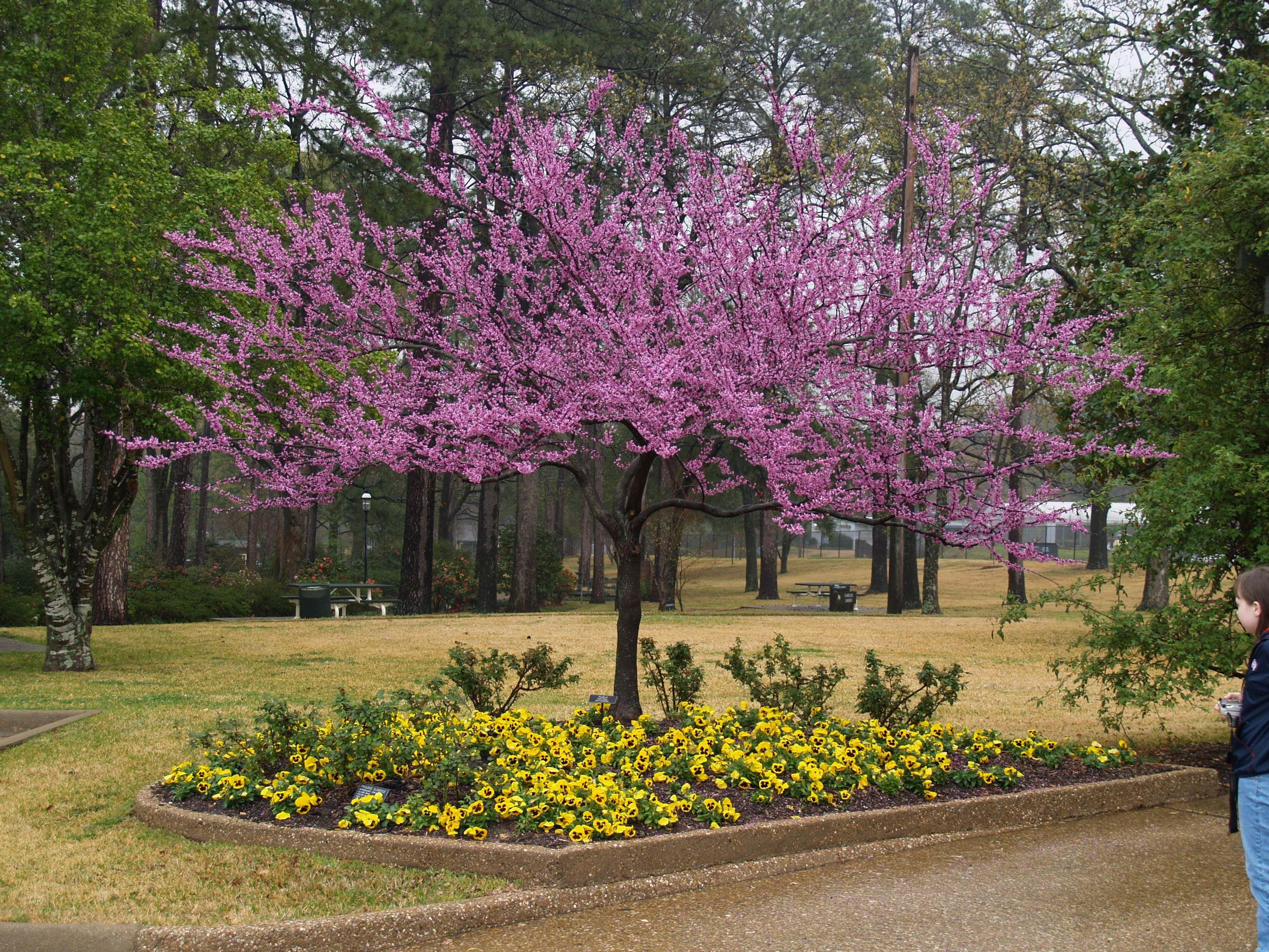 Pin By Patrice Steele On Home Outside Decor Redbud Tree Fruit Trees Backyard Ornamental Trees