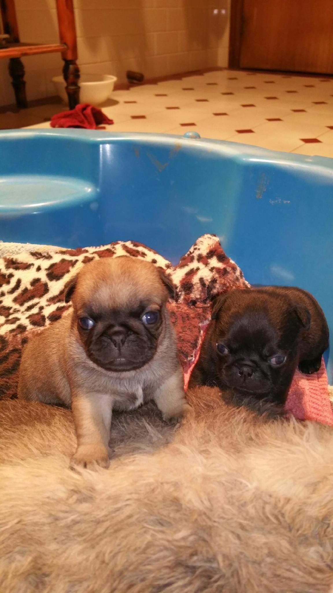 Pin By Lizette Santos On Ky Pugs Black Pug Puppies Pug Puppies