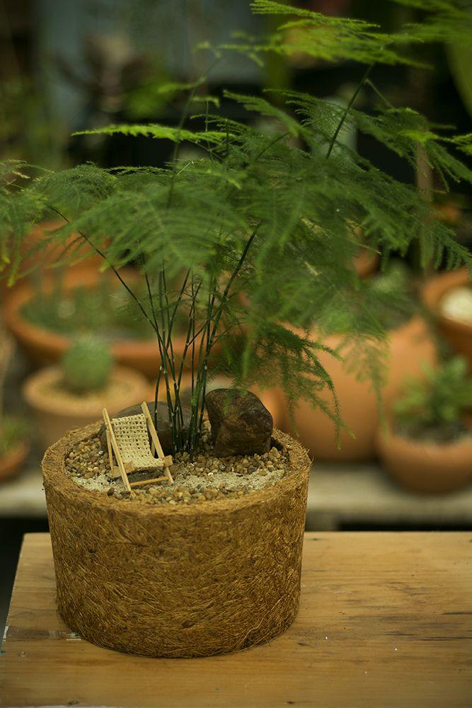 Melindro Com Imagens Mini Samambaia Aspargo Planta Samambaia