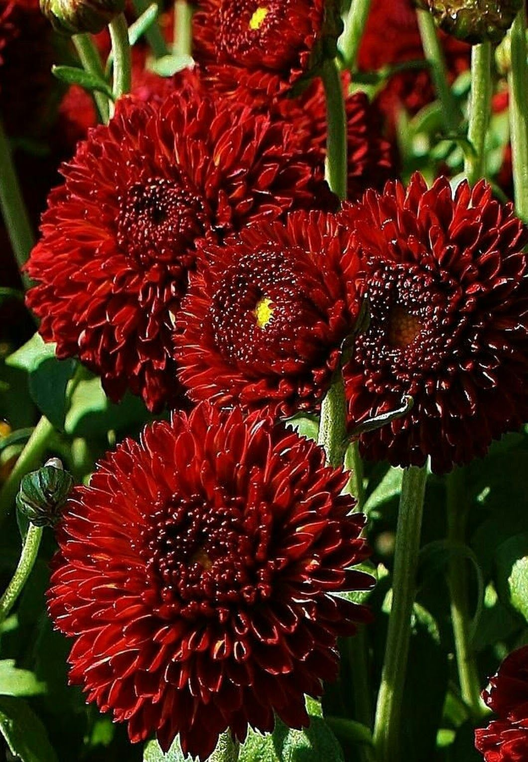 Pin By Very Low Carb Diet On Wedding Flowers Flowers Red Chrysanthemums Unique Wedding Flowers