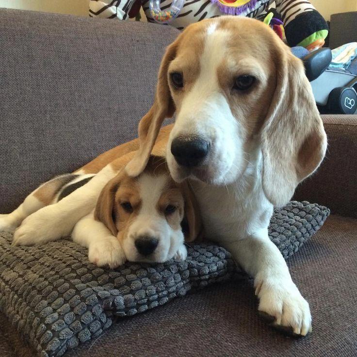 Beagle Friendly And Curious Beagle Dogs Beagle Beagle Puppy