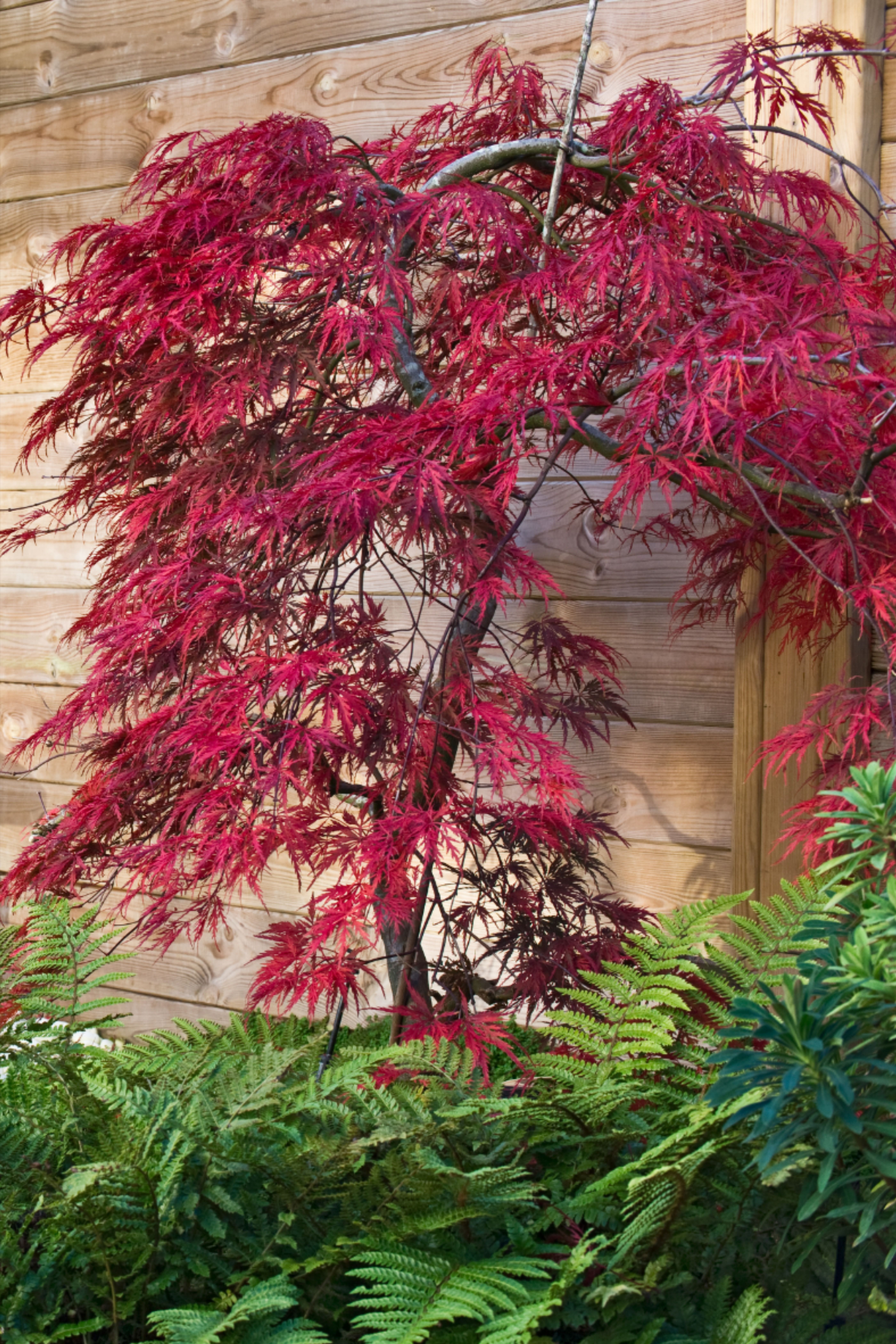 How To Grow Acers Or Japanese Maples April Plant Of The Month In 2021 Japanese Maple Tree Trees To Plant Japanese Maple