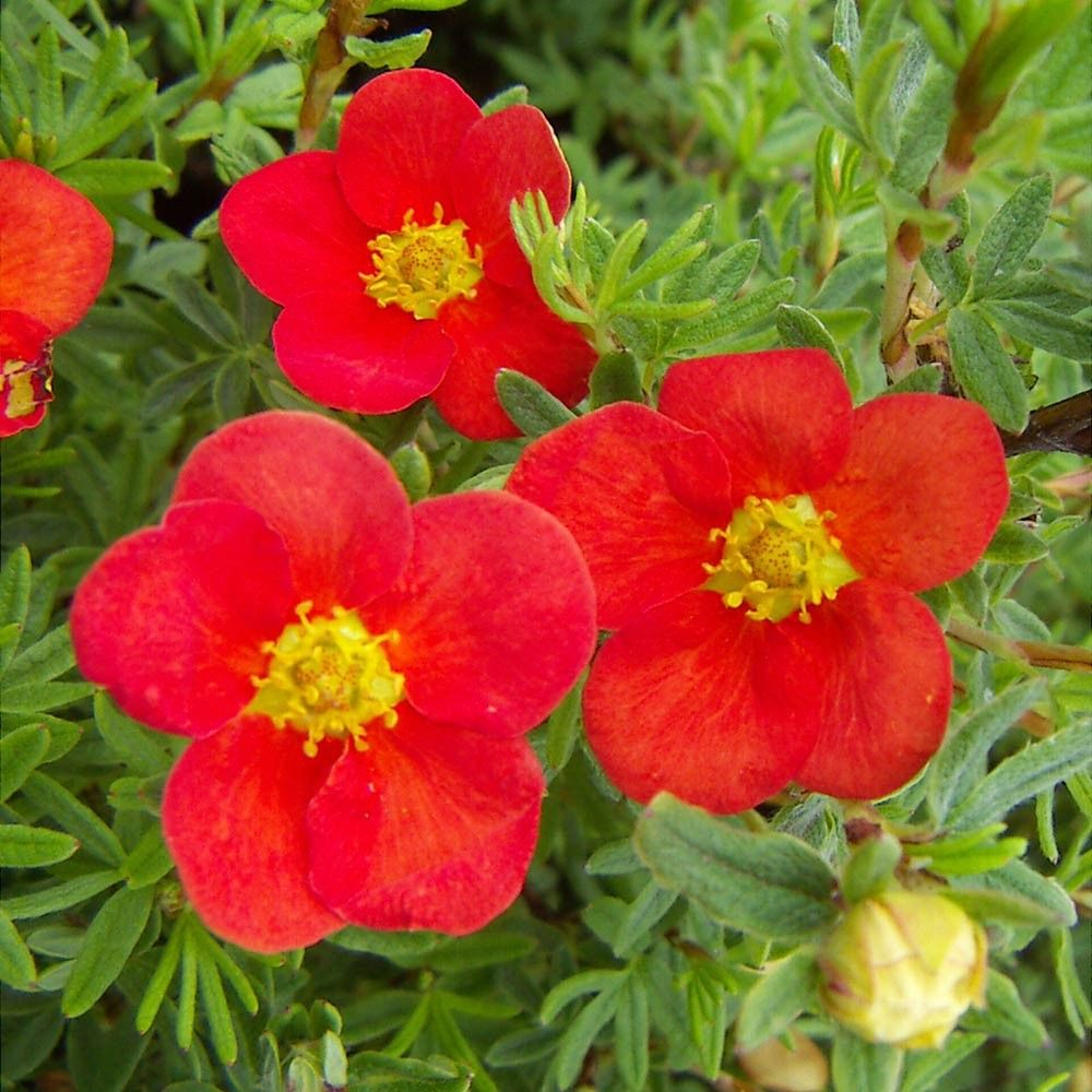 Potentilla Red Ace shade plants Pinterest Flowers Plants
