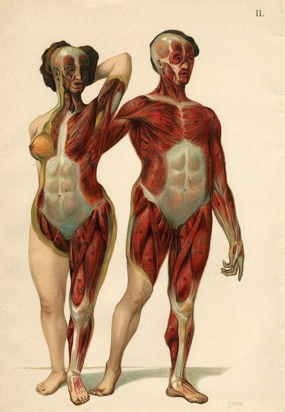 c1900 male female muscles muscular system anatomy antique litho, Muscles