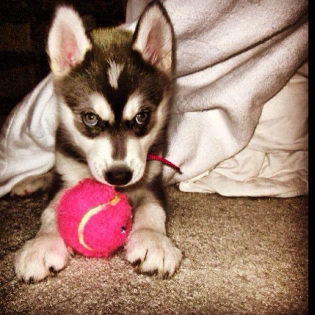 Sasha When She Was A Husky Puppy Husky With Blue Eyes Cute