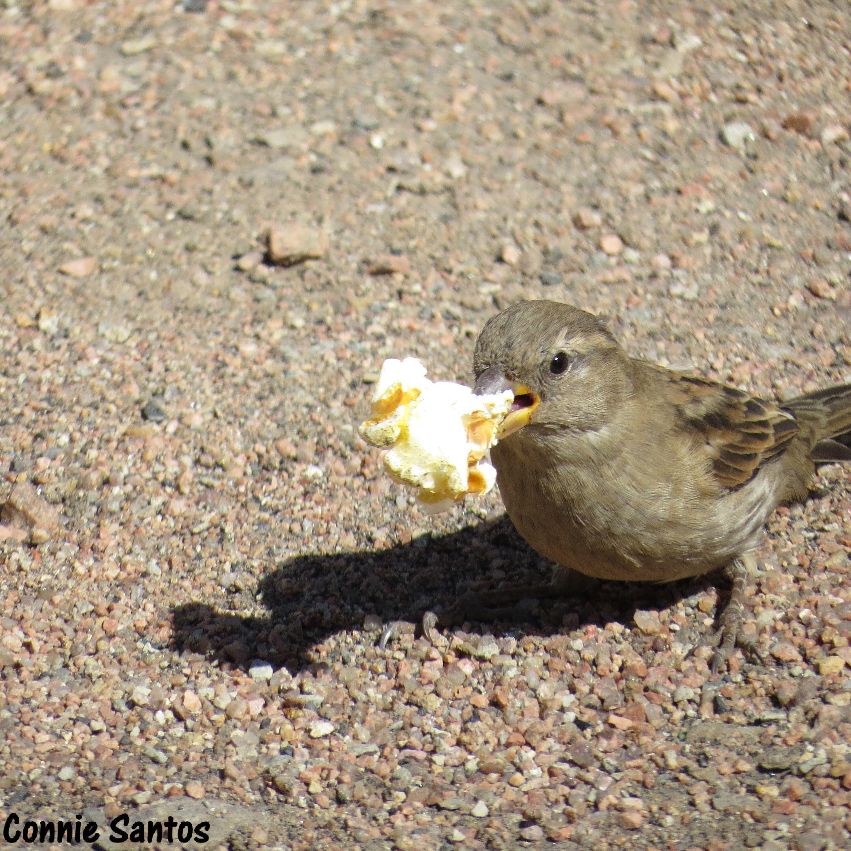 Cripple Creek, CO Lil Bird Eating Popcorn