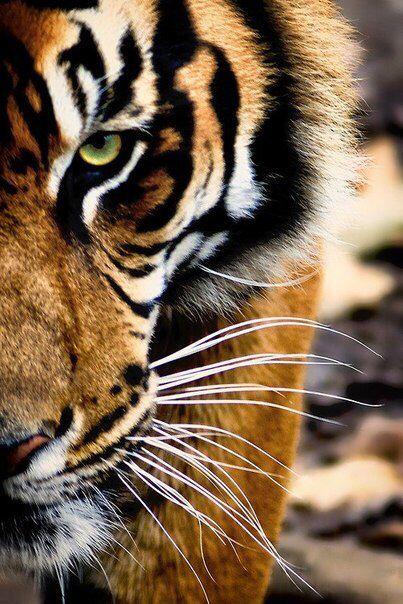 tiger s face up