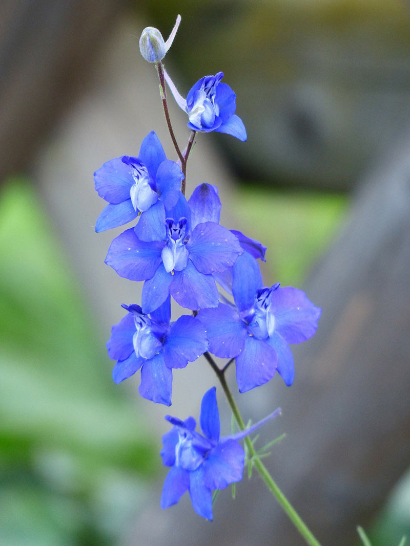 14 Of The Most Breathtaking Flowers That Start With L Larkspur Flower Types Of Blue Flowers Annual Flowers