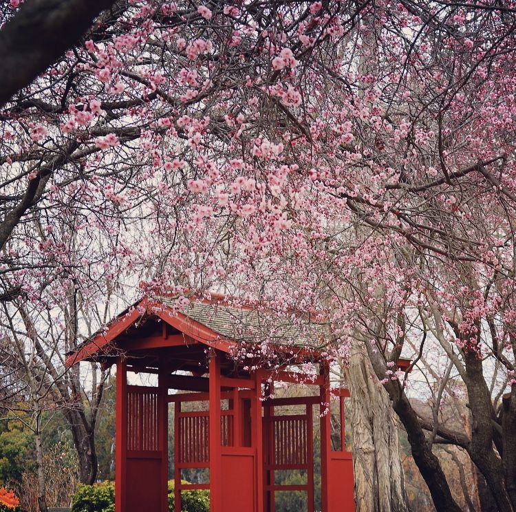 #spring #flowers #blossom #chinese #garden #canberra