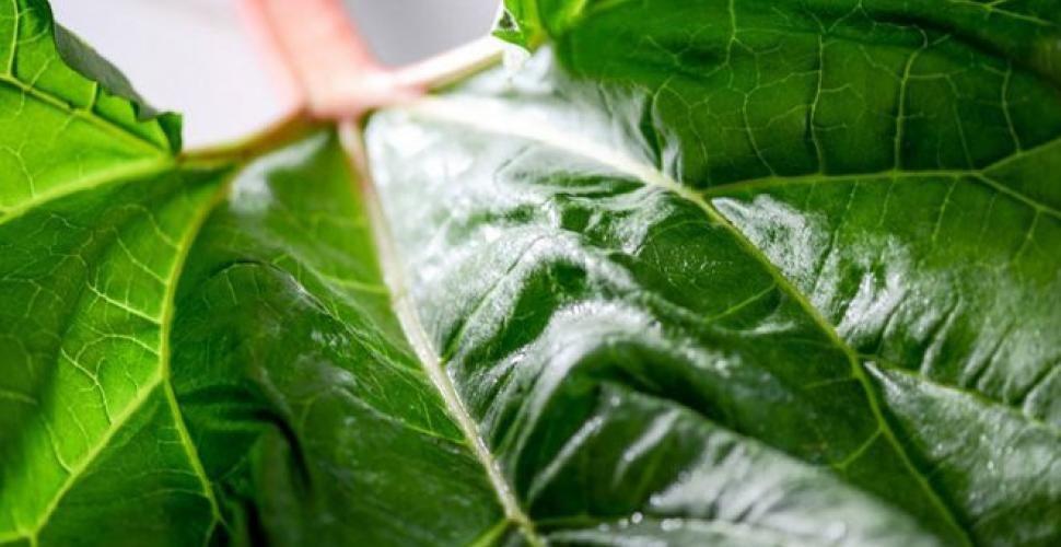 5 Bonnes Raisons De Cultiver De La Rhubarbe Dans Son Jardin En