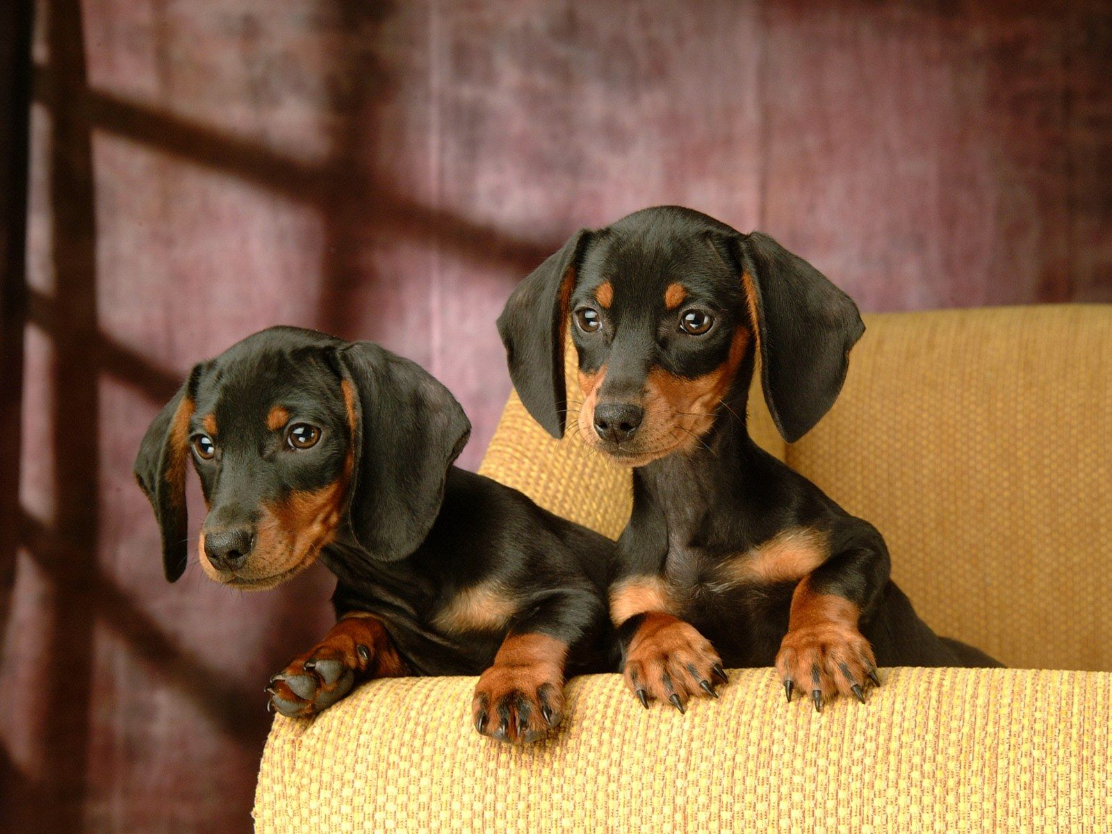 Black And Tan Miniature Dachshund Puppies Cute Little Dogs