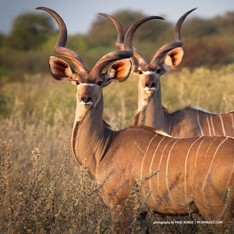 Young kudu bulls will often travel in small groups to