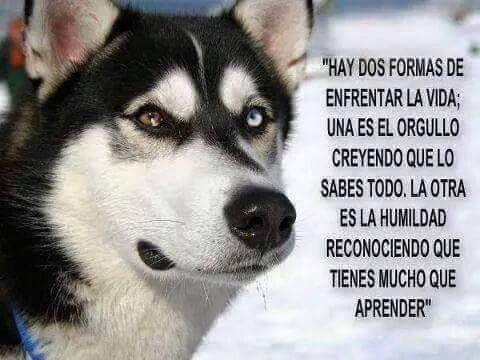 Pin De Amelia Levrand En Phrases Ojos Husky Huskies Siberianos Reflexiones Sobre El Orgullo