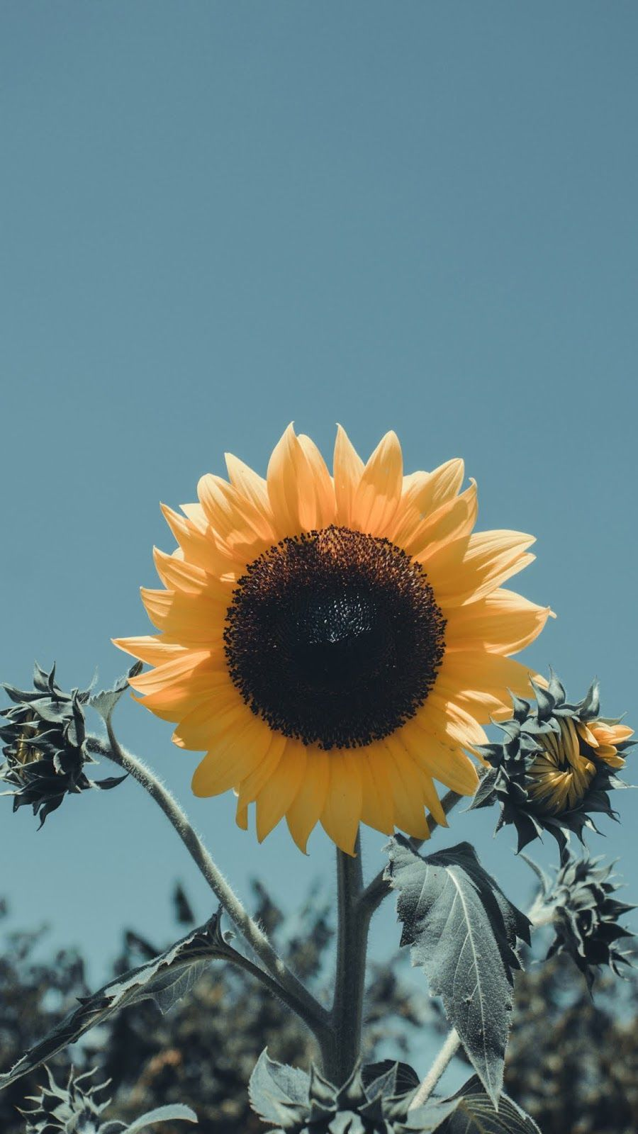Comfortable Clothing. in 2020   Sunflower wallpaper ...