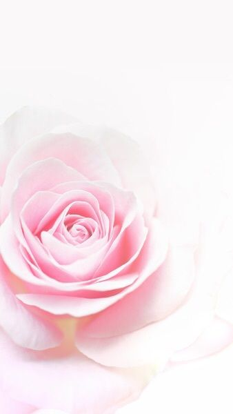 Pink Rose Wallpaper Iphone Best
