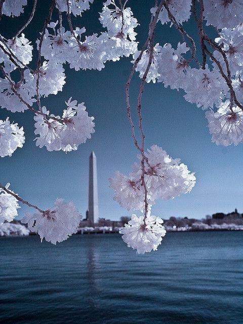 Dc Cherry Blossom Festival In Infrared Cherry Blossom Festival Cherry Blossom Cherry Blossom Parade