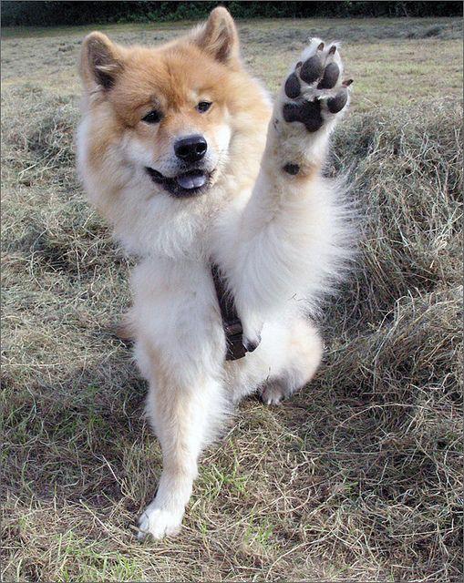 Alwin von den VierSeen Eurasier hund, Eurasier und Hunde