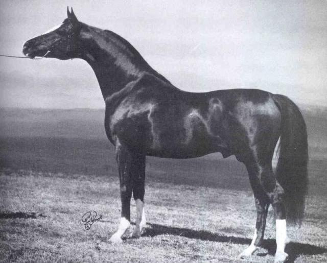 Muscat - Russian Arabians - Arabian Horse Breeders Network