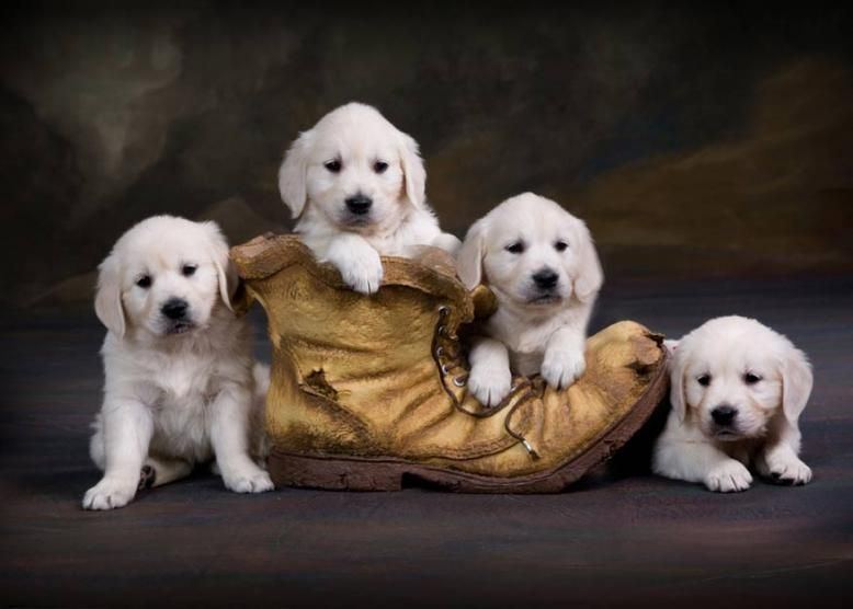 English Cream English Golden Retriever Puppies Carson City Michigan English Golden Retriever Puppy Cute Cats And Dogs Puppies