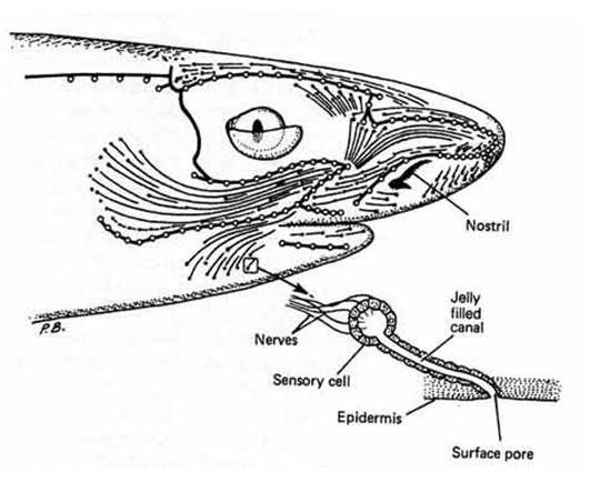 Diagram To Illustrate The Surface Area Of The Head Of A Squaloid
