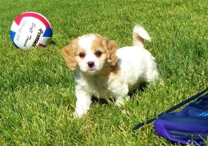 The Cutest Cavachon Designer Puppy In San Diego Mixed Dog Breeds