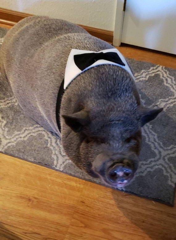 d4a7c2644c15d Dress him up! Pet Tuxedo, Mini Pig Clothes, Pet Bow Tie, Pet Wedding ...