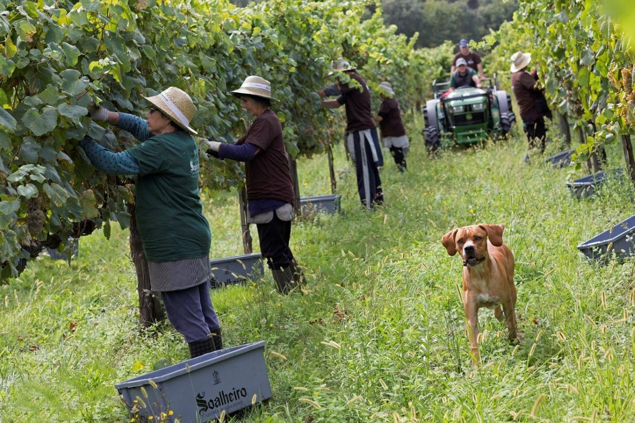 Vindimas… já falta pouco mais de um mês… Harvests... already missing little more than a month... Bons momentos… Good times... #Alvarinho