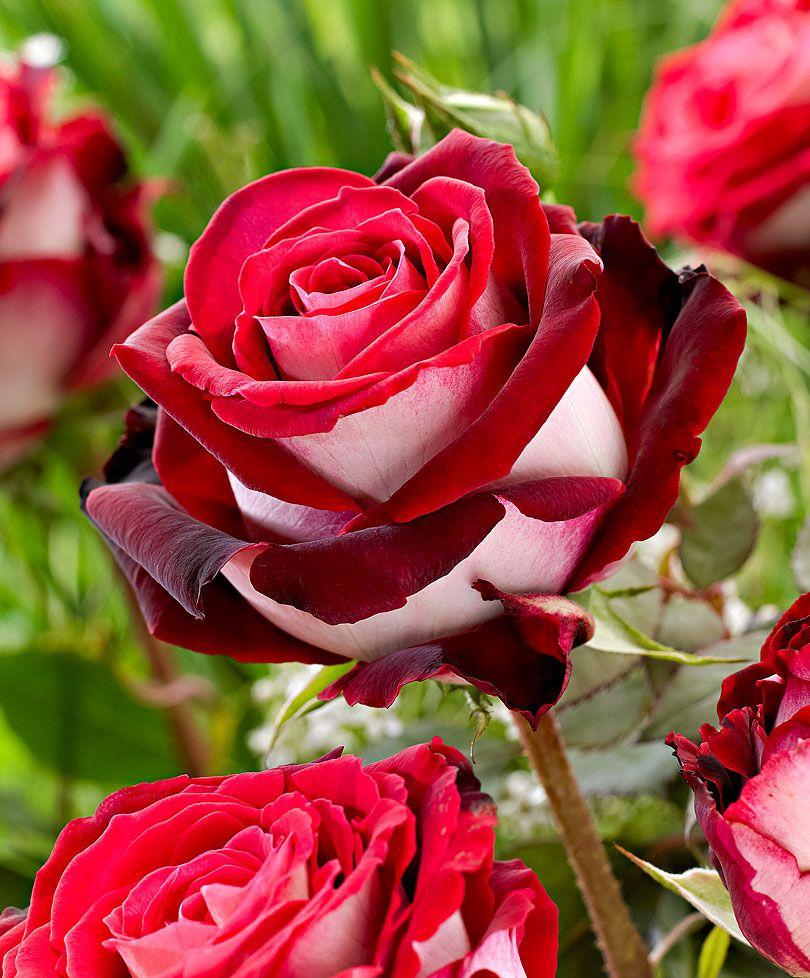 Großblumige Rose \'Osiria\' | Rosen | Bakker | Rose | Pinterest | Rose ...