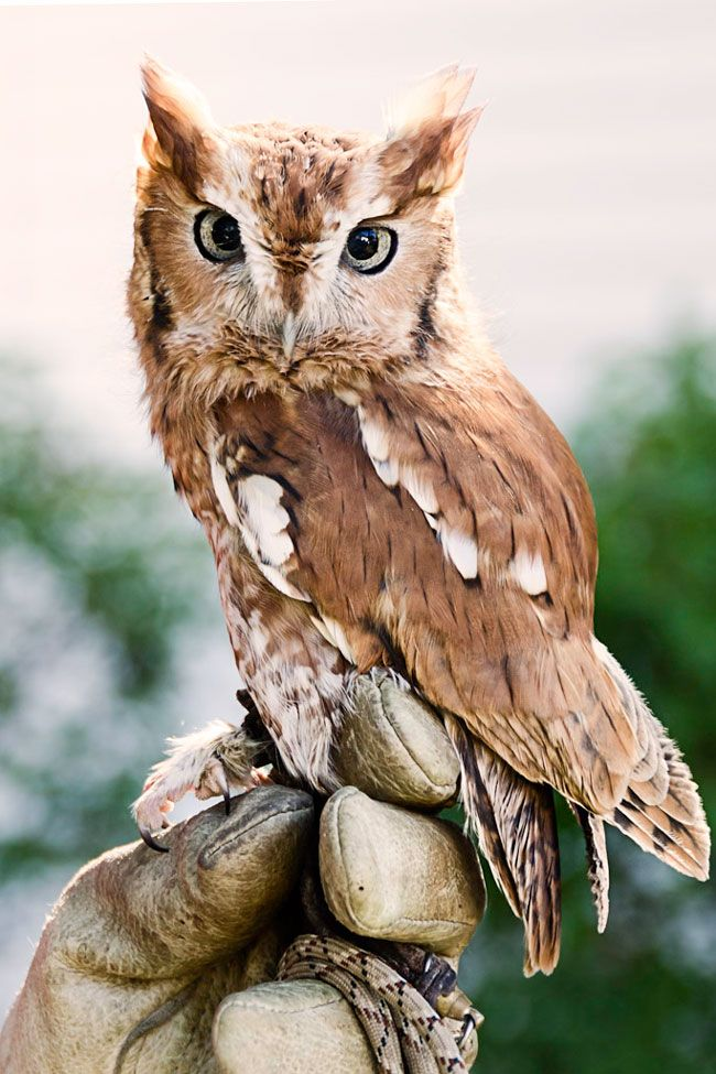 I believe this is a Red Screech Owl. Such an intent yet ...