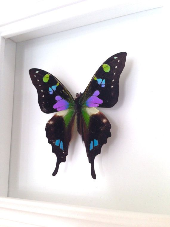 Real butterfly shadowbox frame Graphium by AsanaNaturalArts