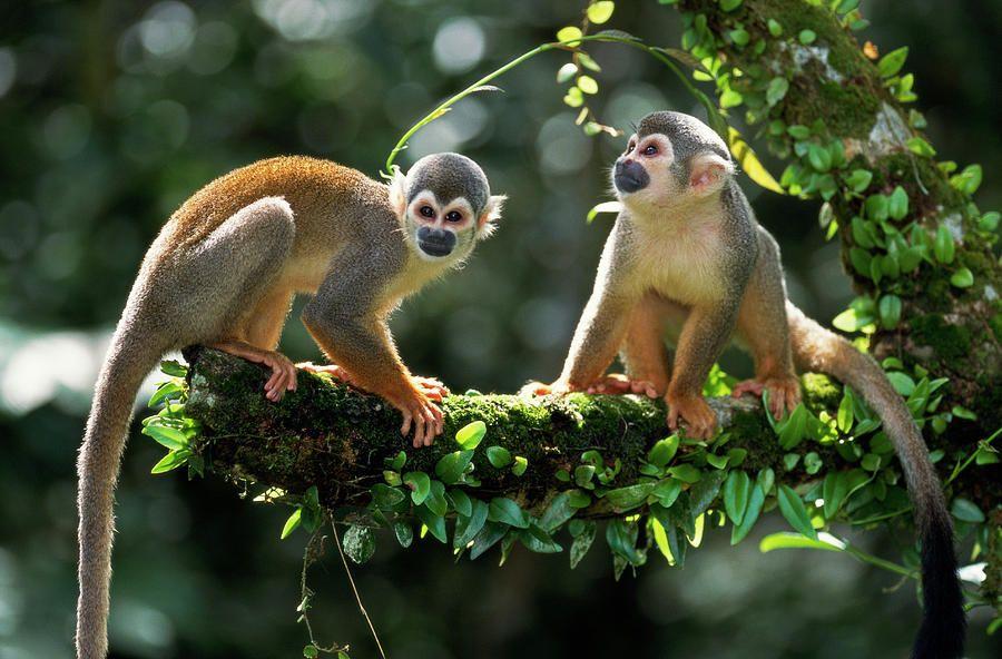 South American Squirrel Monkey Saimiri By Thomas Marent Squirrel Monkey Monkey Cute Monkey