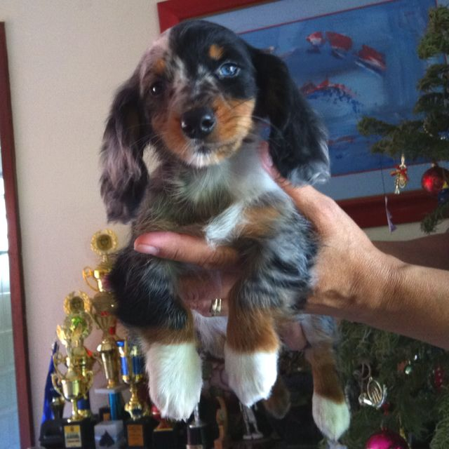Dachshund Puppy Long Haired Dapple Look At Those Cute White Paws