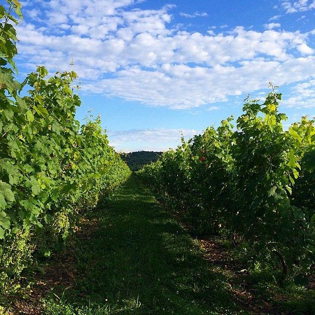 Vineyard in upstate New York. Photo courtesy of lunaevy1 on Instagram. #howisummer