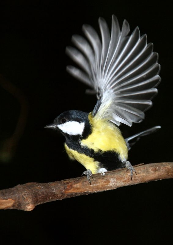 Great tit - Talitintti by Jukka Vaittinen