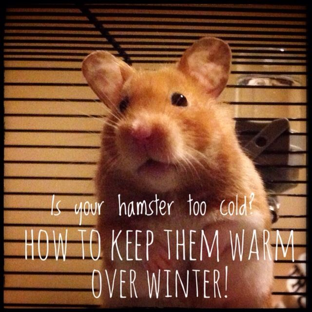 Is Your Hamster Too Cold? How To Keep Them Warm Over ...