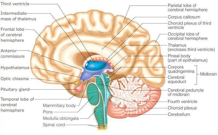 Nervous System And Special Senses In 2020 Brain Diagram Brain Anatomy Human Brain Anatomy