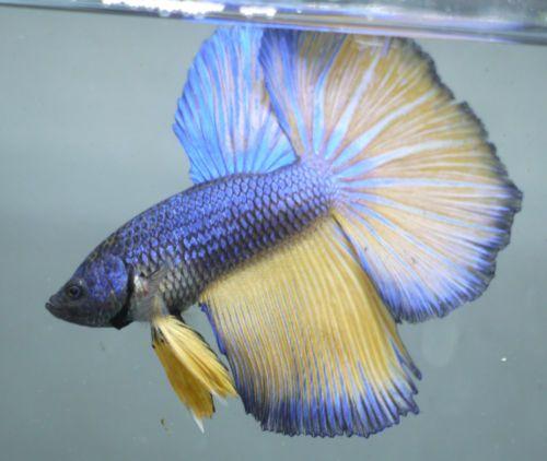 live-Tropical-Fish-Blue-mustard-halfmoon-betta-A37