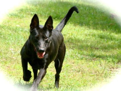 Black Belgian Malinois Female 3 500 Usd Good Thing Lucy Is A