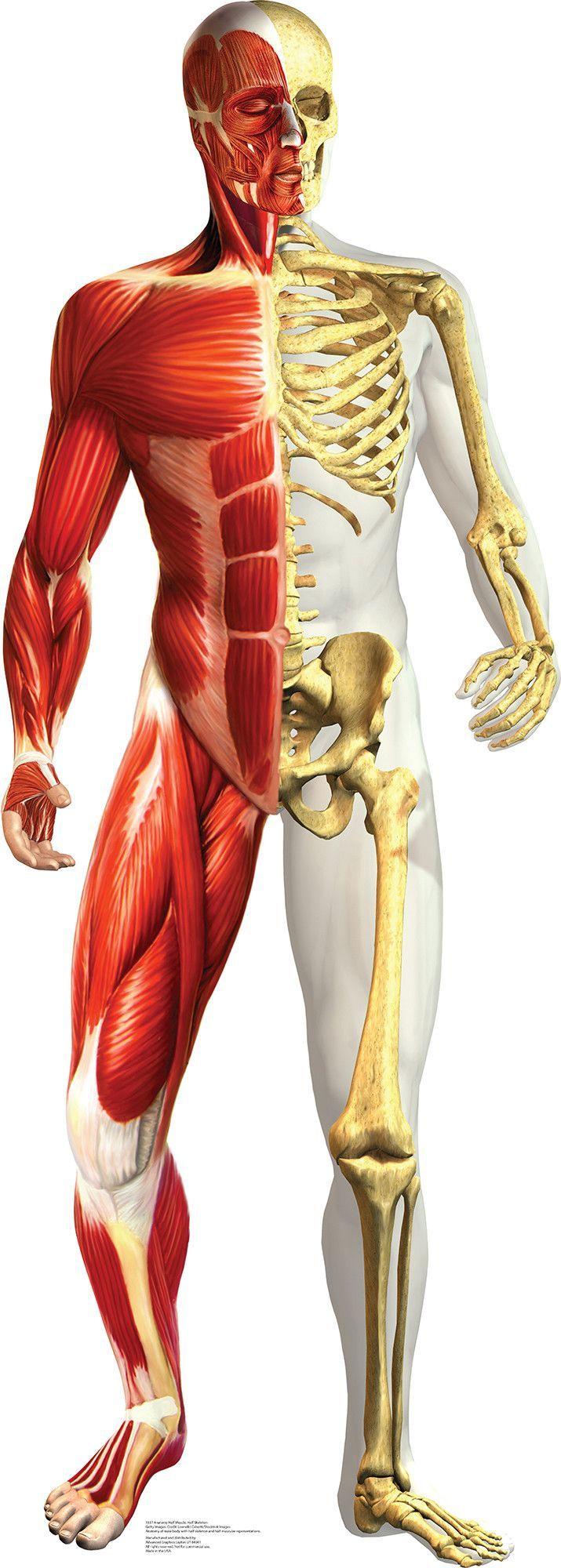 Anatomy Half Muscle Half Skeleton Cardboard Standup Anatomy Drawing Anatomy For Artists Human Anatomy
