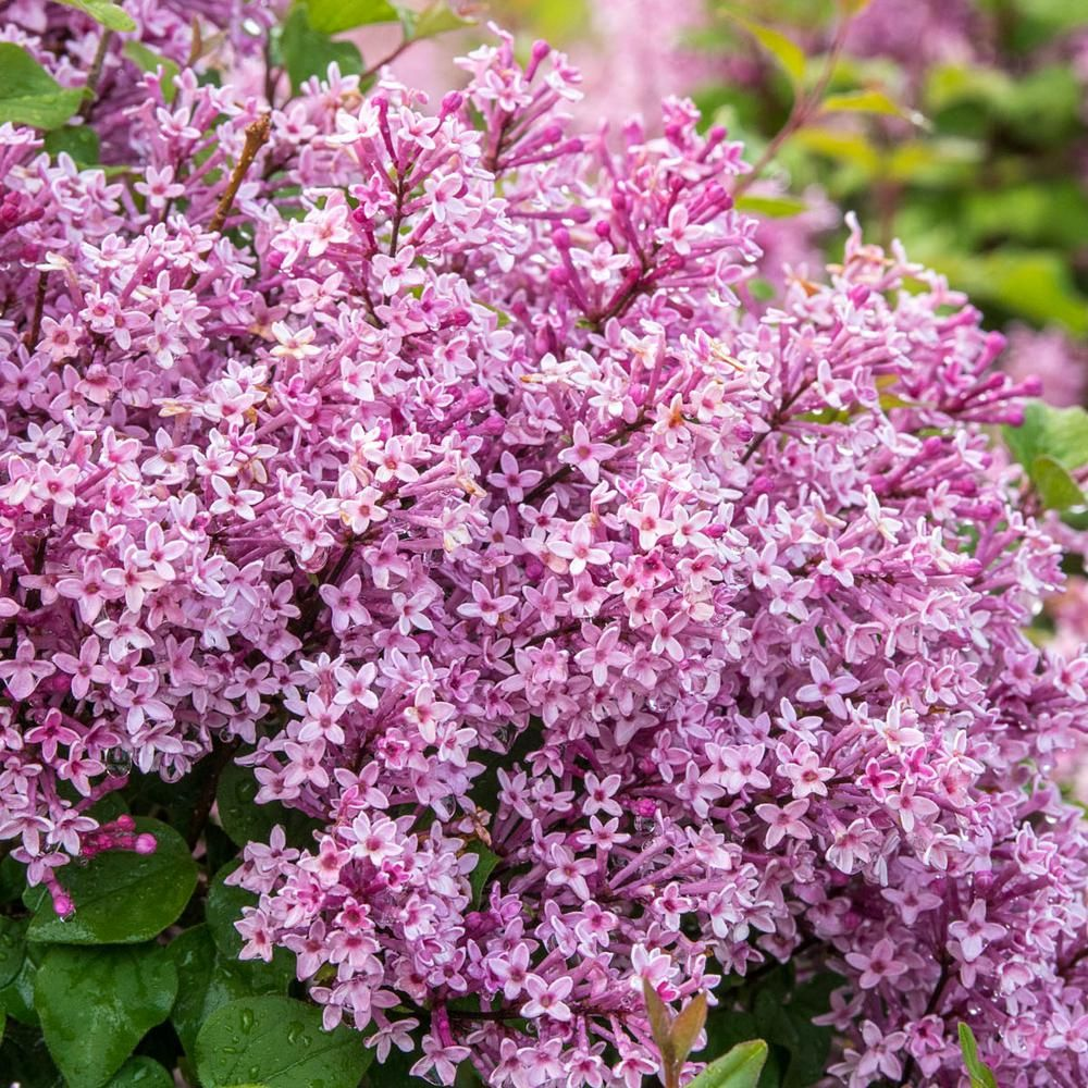 Spring Hill Nurseries Be Right Back Lilac Syringa Live
