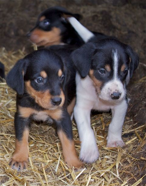 New Zealand Huntaway Working Dogs Puppies Cute Animals