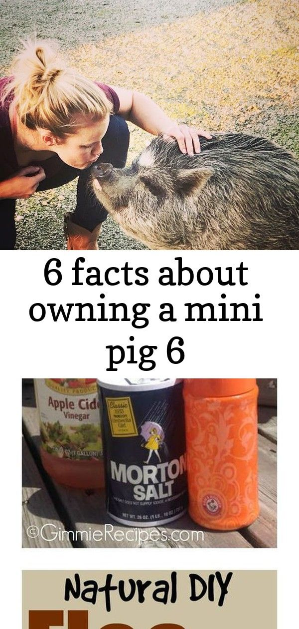 6 facts about owning a mini pig 6 Micro or mini pigs are now a very popular animal. Learn the proper care needed when owning a mini pig by reading this guide. From pen sizes, products and feed this article will give you tips on how to love and take care of your newest pet! Natural Flea and Tick Repellent for Pets THE ONLY THING YOU GOT GOING FOR YOU BUDDY IS YOUR CUTE FACE!  THESE GUYS CAN BE SERIOUS PEST! BUT, THEY HAVE THE CUTEST FACE!