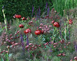 Paeonia 'Buckeye Belle', Astrantia major 'Claret', Salvia nemorosa 'Caradonna', Foneiclum vulare 'Giant Bronze'  - sun