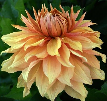 """Dahlia 'Hamari Gold': decorative; yellow and bronze blend; blooms from 8-10""""."""