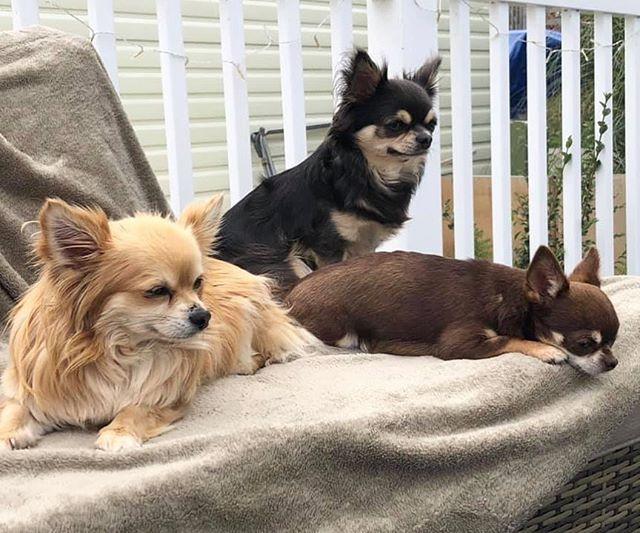 The 3 Amigos MyChi AndMe #chihuahua #chihuahuasofinstagram #dogs #dogsofinstagram