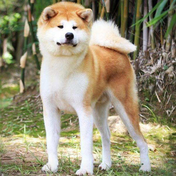 Akita Inu Hund Bester Freund Akita Hunde