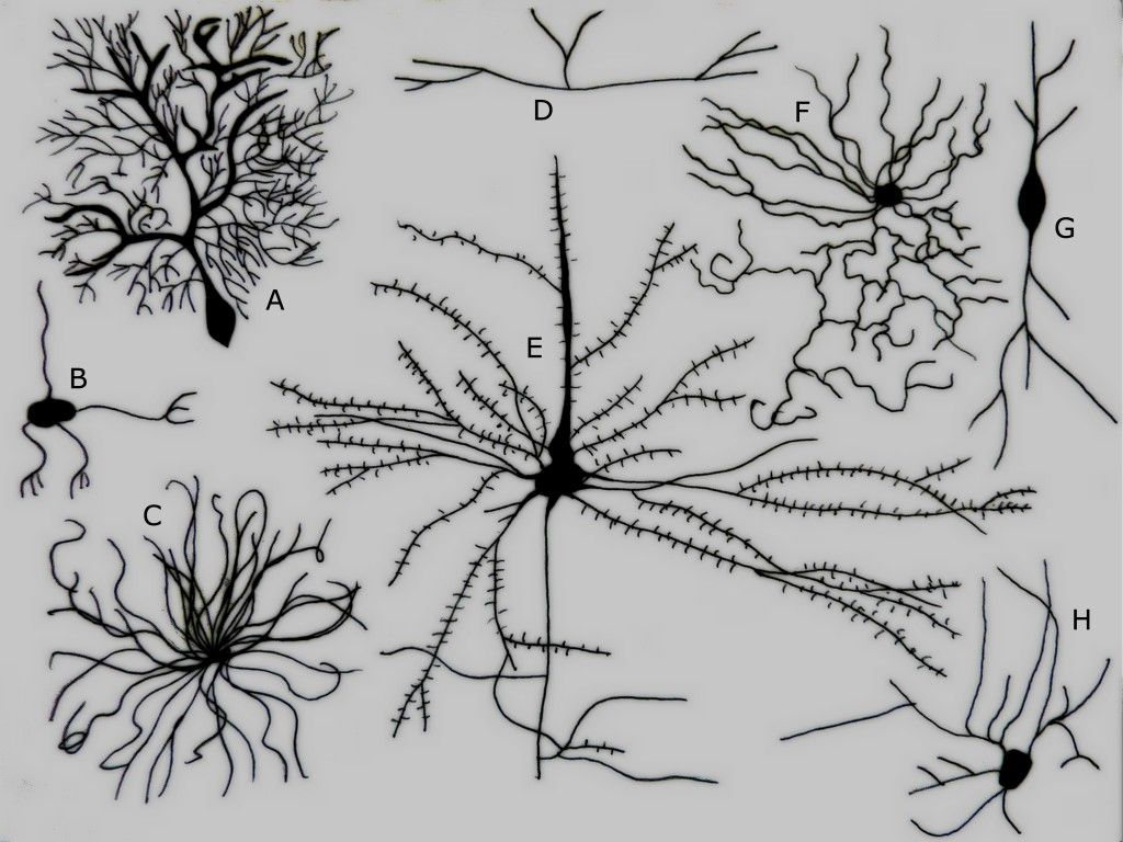 Different Types Of Neurons A Purkinje Cell B Granule